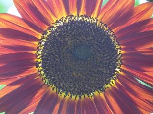 Sunflower, Flower & Garden Festival, Orlando, FL